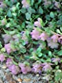 Perennial Farm Marketplace Origanum r. 'Kent Beauty' ((Ornamental Oregano) Perennial, 1 Quart, Dusty-Rose to Deep Mauve-Pink Flowers