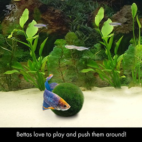2-LUFFY-Betta-Ball-Live-Round-Shaped-Marimo-Plant-Toy-for-Betta-Fish-Natural-and-Aquarium-Safe