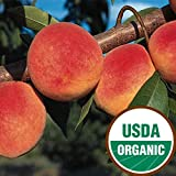 Redhaven Certified Organic Peach Standard Bareroot Tree - Ships 3-4' Tall and/or with a 3/8'' or Larger Trunk Diameter.