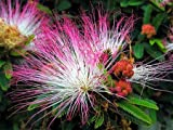 Sensitive Plant-Mimosa pudica 50+ Seeds