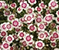 Very Rare Maiden Pink Dianthus deltoides Arctic fire Carnation Flower Seeds