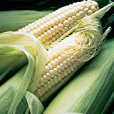 David's Garden Seeds Corn Sweet Silver Queen SL2833 (White) 100 Non-GMO, Hybrid Seeds