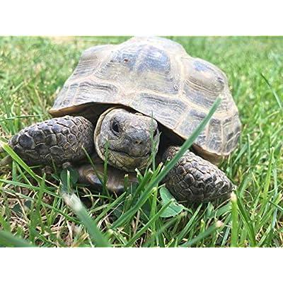 Tortoise Grazing Blend 450 Seeds, 1 Gram : Garden & Outdoor