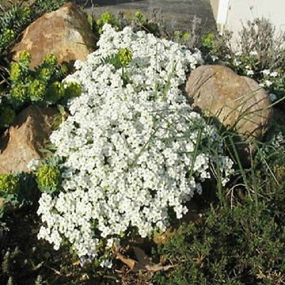 250 Seeds of Rock Cress Cascading Snow Cap White Rock Cress Ground Cover