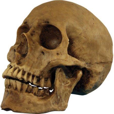 Resin Cranium Prop (Resin Skull Cranium Halloween Prop)