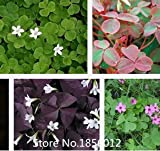 500 Seed Red Wood Sorrel Seeds Oxalis seeds Corymbosa Four Leaf Clover Flower Seeds Bonsai Plant