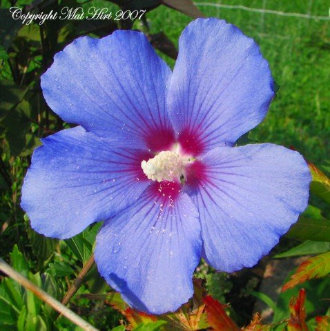 Amazoncom Blue Satin Tm Hibiscus Rose Of Sharon Best Blue