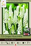 White Grape Hyacinth 15 Bulbs - Muscari Album - Very Hardy - 6/+ cm