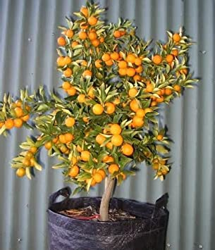 Amazon.com : Kumquat Small Fruit Bearing Tree 100 Seeds indoor ...