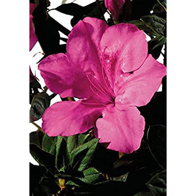 1 Gallon - Encore Azalea Autumn Sangria - Evergreen Shrub that boasts large vibrant neon pink flowers : Garden & Outdoor