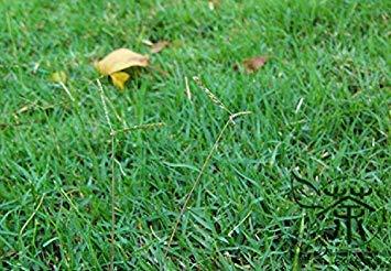 PLAT FIRM Familie Poaceae Bahama s Gartensamen Am meisten Samen 1800pcs Natur Bermuda s Seeds