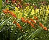 CROSO Seeds PACAKGE ONLY NOT Plants: Crocosmia Masoniorum A.G.M. (Montbretia) - Hardy Seeds Ex Litre Seed