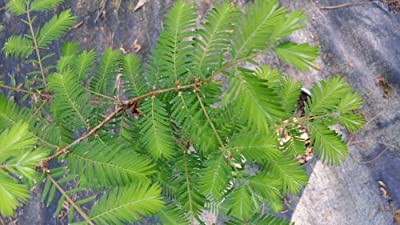 3 gallon,BALD CYPRESS, leaves like feathers, tall pyramidal shape tree,also called eternal wood, because of its resistance to decay, the wood is used for heavy construction-like docks, warehouses, boats, bridges,great for wet spots, (Hydrangeas Shrub, Eve