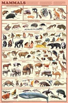 Mammals Educational Poster, Monotremes Marsupials Placental