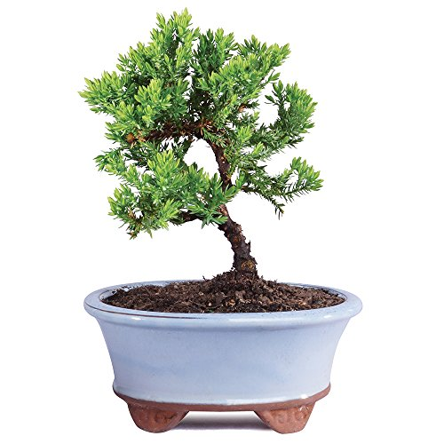 "Brussel's Live Green Mound Juniper Outdoor Bonsai Tree - 3 Years Old; 4"" to 6"" Tall with Decorative Container - Not Sold in California"