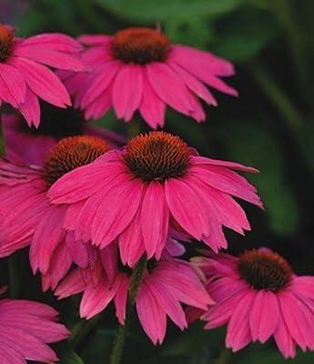 PowWow WildBerry Coneflower 25 Seed-Echinacea-Perennial