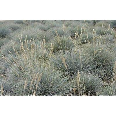 Ornamental Grass Seed - Festuca Fescue Ovina Seeds : Garden & Outdoor