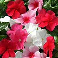 Outsidepride Periwinkle Ground Cover Plant Flower Seed Mix - 2000 Seeds