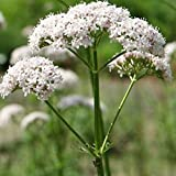 Anthos Valerian Seeds (Valeriana officinalis) 100+ Organic Heirloom Seeds