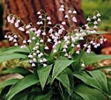 Potted Rare Pink Lily of the Valley Plant - Loves Shade