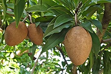 tree Sapodilla fruit