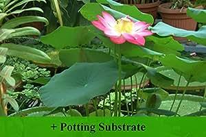 SAFLAX - Wasserpflanzen - Indische Lotusblume (Nelumbo nucifera ) - 8 seeds - With potting soil