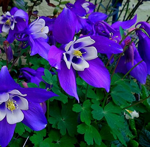 Dark Purple Columbine! 25 Seeds! Beautiful! Comb.s/h! Hummingbird Plant!