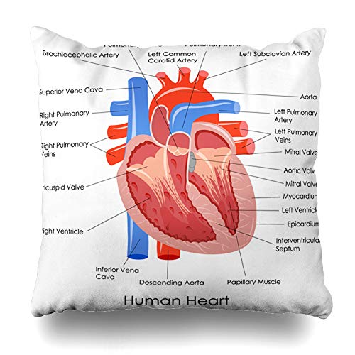 Pandarllin Throw Pillow Cover Scientific Anatomical Diagram Human Heart Anatomy Life Science Body Cardiac Muscle Organ Coronary Cushion Case Home Decor Design Square Size 18 x 18 Inches Pillowcase