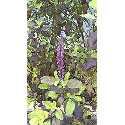 Tulsi, Tulsi Combo Pack, Medicinal Seeds, Krishna Tulsi, Kapoor Tulsi, Rama Tulsi, Vana Tulsi : Garden & Outdoor