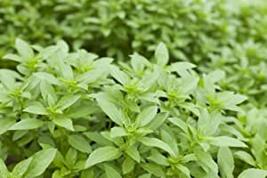 290mg Certified Organic Heirloom LIME BASIL 200+ Seeds Rare Garden Herb Plant