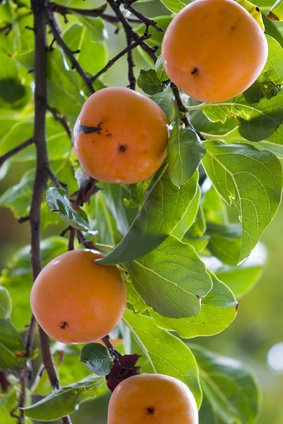 Japanese Persimmon Diospyros kaki Sharon fruit 100 Seeds