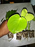 5 Pack Monstera Delicious 'Swiss Cheese Plant' Live