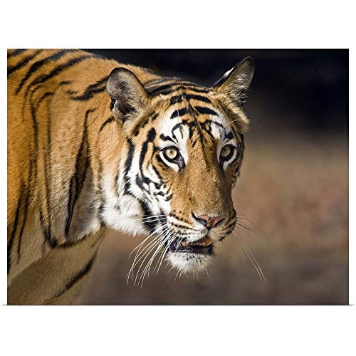 - GREATBIGCANVAS Poster Print Entitled Close up of a Bengal Tiger Panthera Tigris Tigris Bandhavgarh National Park Umaria District Madhya Pradesh India by 24