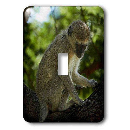 3dRose lsp_187978_1 Vervet Monkey, Victoria Falls, Zimbabwe, Africa Light Switch Cover by 3dRose