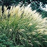 Maiden Grass - Size: 1 Gallon (Miscanthus sinensis 'Gracillimus')