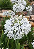 2.5 Quart - Agapanthus Queen Mum - Featuring Extra Large Dual Colored White & Violet Blue Flower Heads & Clumping Strap-like Foliage. Ideal for Beds, Borders, Pots, & Boxes.