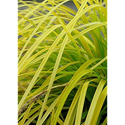 2.5 Qt - EverColor 'Everillo' Carex - Ornamental Grass : Garden & Outdoor
