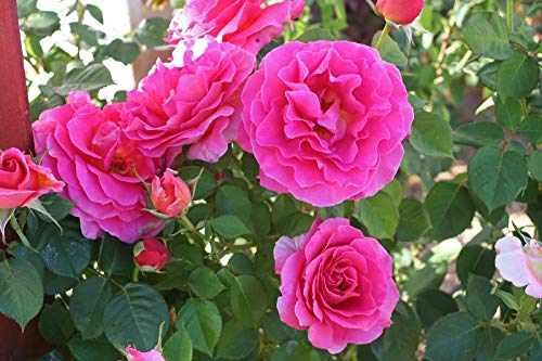 Go Garden Rose Bush Seeds - Gentle Giant - Hybrid Tea Rose - Beautiful Blooms - 10 ()