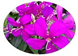 ECUADOR PRINCESS Tibouchina Bush Live Tropical Plant Purple Flower Starter Size 4 Inch Pot Emerald TM