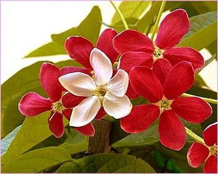 Amazon.com: Quisqualis Indica, indicador combinado: Jardín y ...