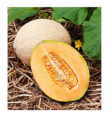 David's Garden Seeds Fruit Cantaloupe Hales Best SL3113 (Orange) 50 Non-GMO, Heirloom Seeds (Hales Best Cantaloupe Seed)