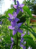 Seeds/Packet 1,000 Campanula americana TALL BELLFLOWER