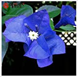 Tantara- A Package 100 Pieces Seeds Unique Blue Bougainvillea Spectabilis Seeds Perennial Bonsai Plant Flower Seeds