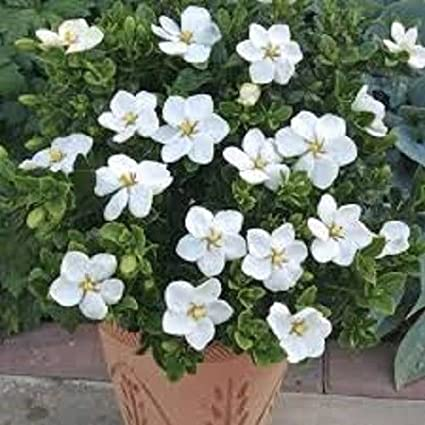 Amazon 15 gardenia white flower seeds perennial long 15 gardenia white flower seeds perennial long lasting indoor house plant mightylinksfo