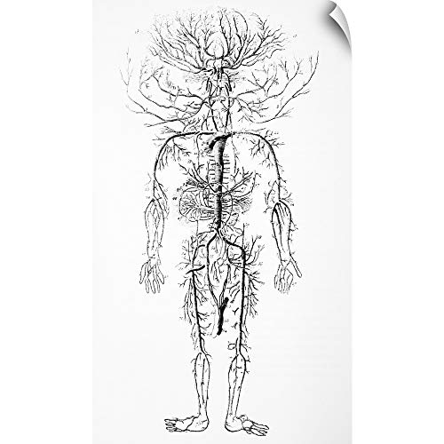 CANVAS ON DEMAND Arterial System, 18th Century Wall Peel Art Print, 14