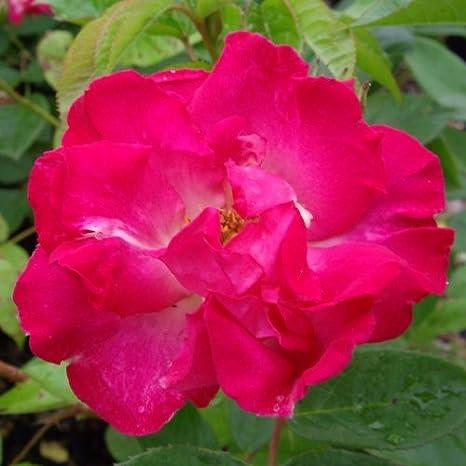 ROSE LITTLE JACKIE-Superb Birthday Plant /& Flower Gifts For Mum,Mom,Women,Girl,New Baby,Grandma