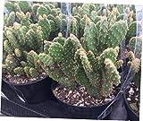 TEE 1 Bare Root Cactus Plant. The Small Opuntia Rufida Minima Montrose - RK59