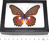 Bicbugs, LLC REAL FRAMED BUTTERFLY PINK PURPLE CETHOSIA MYRINA INDONESIA