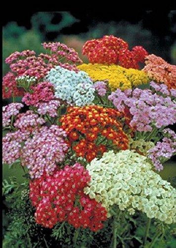 (50+ Scented Achillea Colorado Mix Flower Seeds / Yarrow / Deer Resistant Perennial)