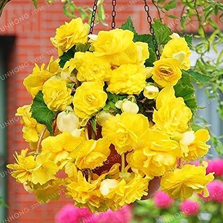 Amazon Com Flower Plant 20 Pcs Bag Yellow Begonia Plant Bonsai